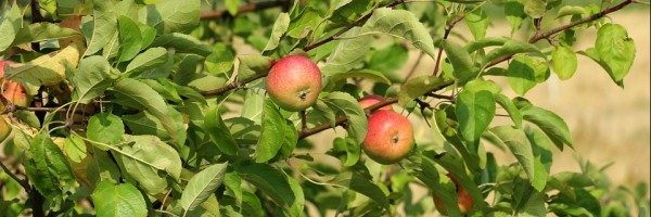 Apples growing on a tree