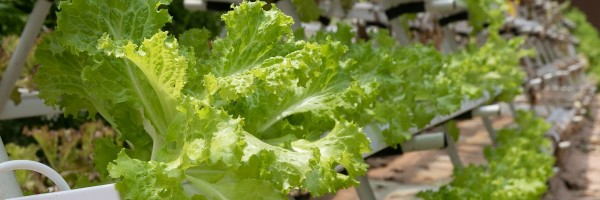 Lettuce growing in a hydroponic syste-m. Photo by marsraw from Pixabay.